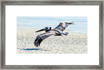 Pelican Flying Framed Print