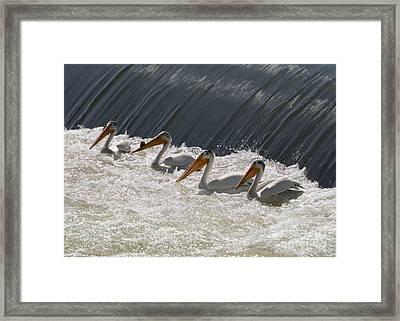 Pelican Four Framed Print