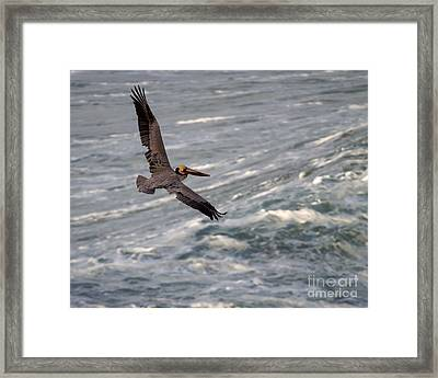 Framed Print featuring the photograph Pelican Glide by Dale Nelson