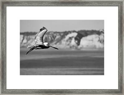 Pelican In Black And White Framed Print by Sebastian Musial
