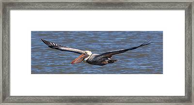 Framed Print featuring the photograph Pelican In Flight by Patricia Schaefer