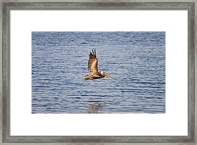 Pelican In Flight Framed Print by Scott Pellegrin