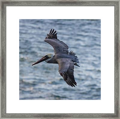 Pelican In Flight Framed Print by Sonny Marcyan