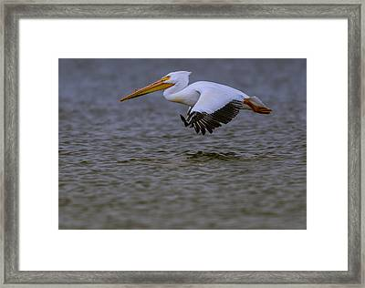 Pelican In Flight Framed Print
