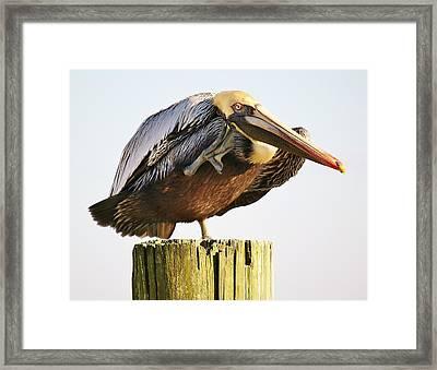 Pelican In Murrells Inlet Framed Print by Paulette Thomas