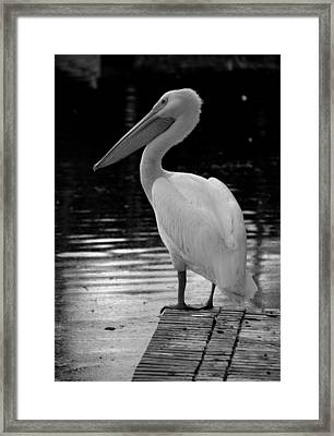 Pelican In The Dark Framed Print by Laurie Perry