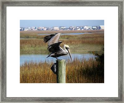 Pelican In The Marsh Framed Print by Paulette Thomas