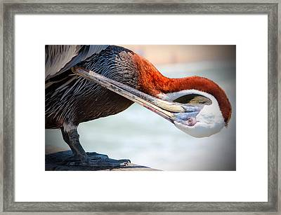 Pelican Itch Framed Print