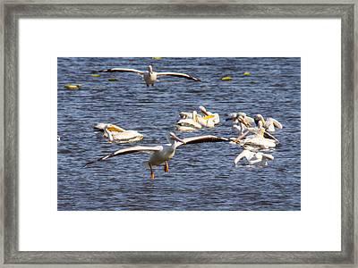 Pelican Landing Framed Print by Jill Bell