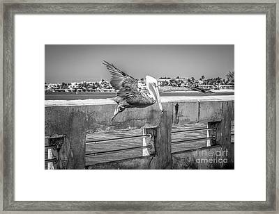 Pelican Landing White Street Pier Key West - Black And White Framed Print by Ian Monk