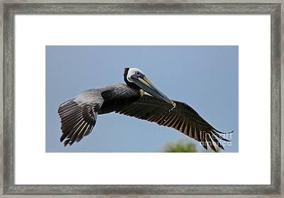 Pelican Liftoff Framed Print