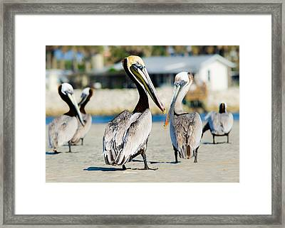 Pelican Looking At You Framed Print