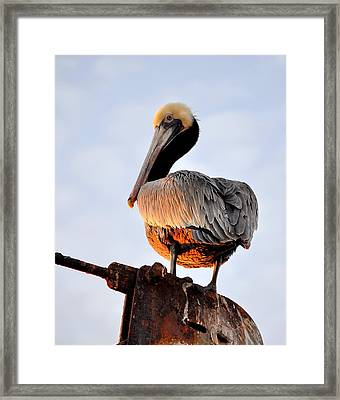 Pelican Looking Back Framed Print by AJ  Schibig