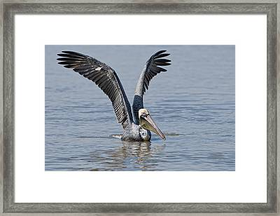 Pelican On Bayou Du Large Framed Print by Bonnie Barry
