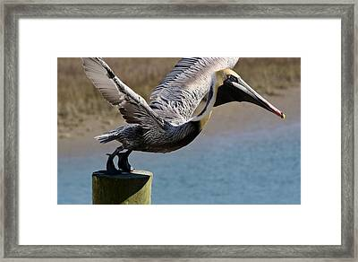 Pelican On His Tip Toes Framed Print by Paulette Thomas