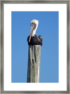 Pelican On Post Framed Print