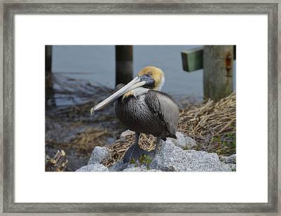 Framed Print featuring the photograph Pelican On Rocks by Judith Morris