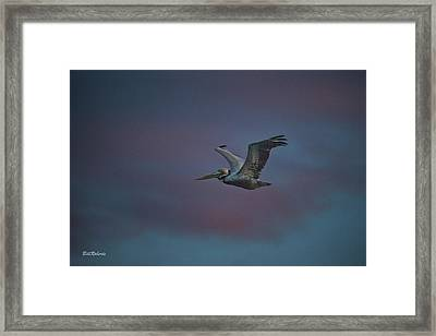 Pelican On The Wing Framed Print by Bill Roberts