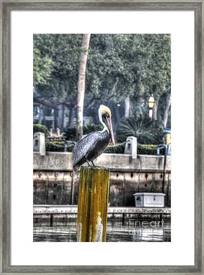 Pelican On Water Post Framed Print by Dan Friend