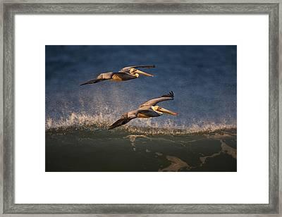 Pelican Pair  73a2315 Framed Print