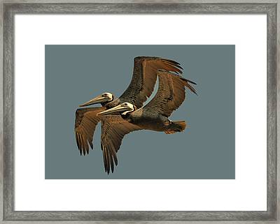 Pelican Pair  - Obx0c4002e Framed Print by Paul Lyndon Phillips