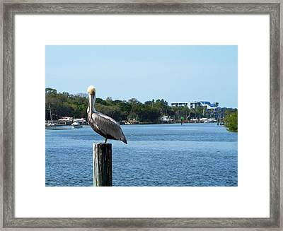 Pelican Paradise Framed Print by Aimee L Maher Photography and Art Visit ALMGallerydotcom