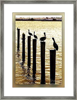 Pelican Patrol Framed Print by Ginny Schmidt