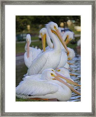 Pelican Pile Framed Print by Laurie Perry