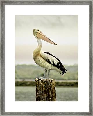 Pelican Poise Framed Print by Holly Kempe