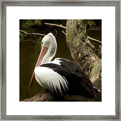 Framed Print featuring the photograph Pelican Poise by Maria  Disley