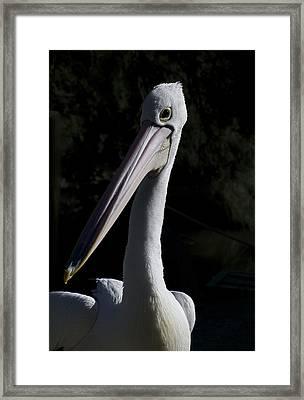 Pelican Portrait Framed Print by Graham Palmer