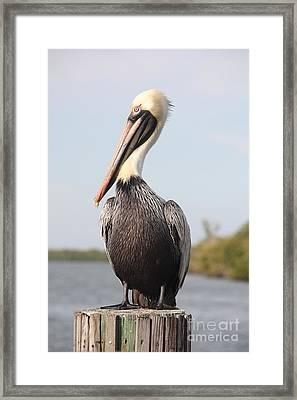 Pelican Pose Framed Print by Carol Groenen