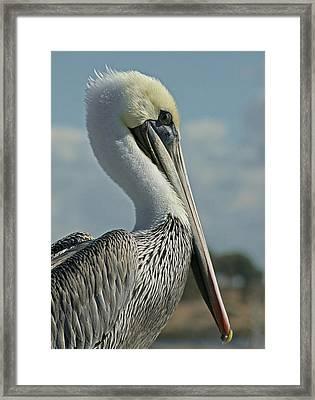 Pelican Profile 3 Framed Print by Ernie Echols