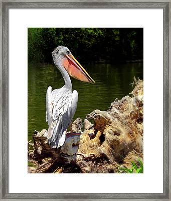 Pelican Proud #2 Framed Print by Wayne Wood