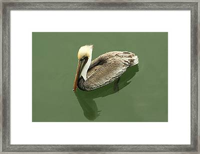 Pelican Reflection Framed Print