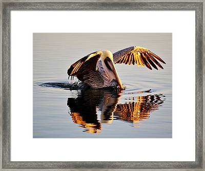 Pelican Reflection Framed Print by Paulette Thomas