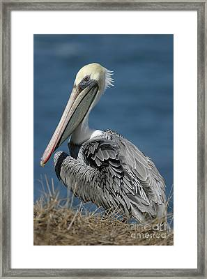 Pelican Framed Print by Russell Christie