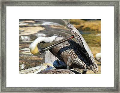 Pelican Scratch Framed Print by Adam Jewell