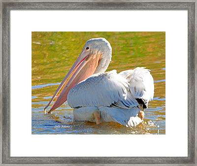 Framed Print featuring the photograph Pelican Sees Me by Lula Adams