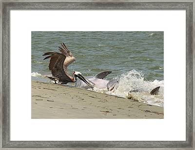 Pelican Steals The Fish Framed Print by Patricia Schaefer