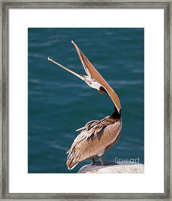 Framed Print featuring the photograph Pelican Stretch by Dale Nelson