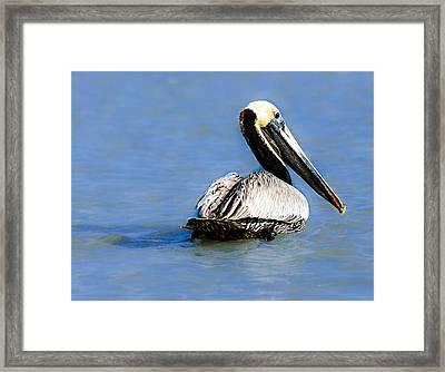 Pelican Swimming Framed Print
