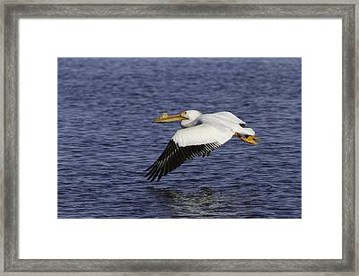 Pelican Taking Off Framed Print by Thomas Young