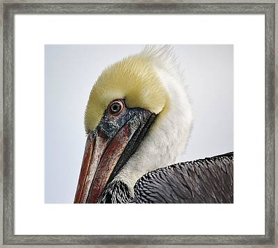 Pelican Up Close And Personal Framed Print by Paulette Thomas