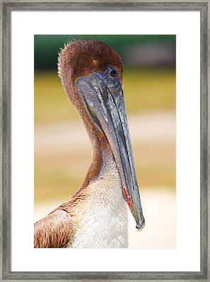 Pelican Up Close At Dry Tortugas National Park Framed Print by Jetson Nguyen