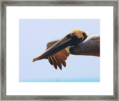 Pelican Up Close In Flight Framed Print by Jetson Nguyen