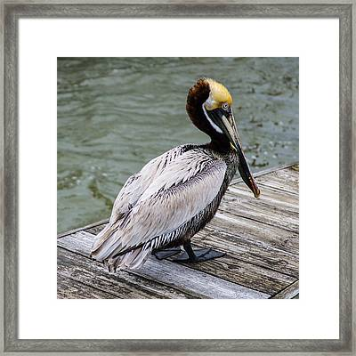 Pelican Watch Framed Print by Gregg Southard
