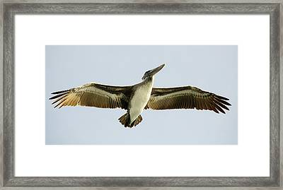 Pelican Wing Span Framed Print by Paulette Thomas