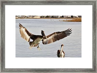 Pelican Wings Span Framed Print by Paulette Thomas