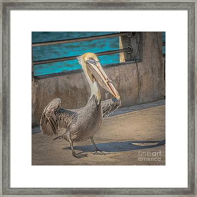 Pelican With Fish White Street Pier Key West - Square - Hdr Style Framed Print